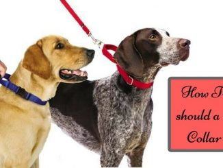 How-Tight-should-a-Dog-Collar-be (1)