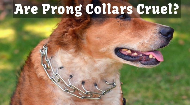 Photo of Are Prong Collars Cruel? Check This Collar is Safe or Not