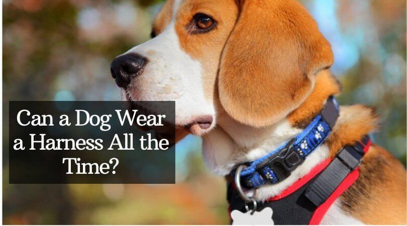 Photo of Can a Dog Wear a Harness All the Time – Is it Safe
