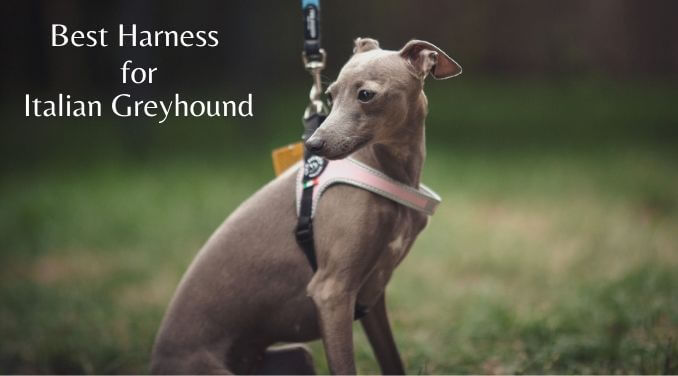 Photo of Best Harness for Italian Greyhound | Top Collars for Your pooch
